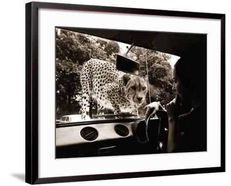 Sikuku the Cheetah Peers into a Car at Woburn Wild Animal Kingdom Bedfordshire, July 1970--Framed Art Print