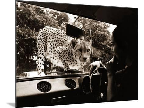 Sikuku the Cheetah Peers into a Car at Woburn Wild Animal Kingdom Bedfordshire, July 1970--Mounted Photographic Print