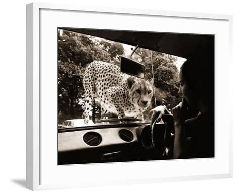 Sikuku the Cheetah Peers into a Car at Woburn Wild Animal Kingdom Bedfordshire, July 1970--Framed Art Print