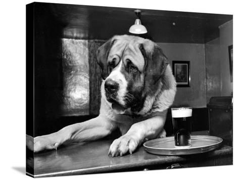 Bryan the St. Bernard Dog Enjoys a Pint, February 1956--Stretched Canvas Print