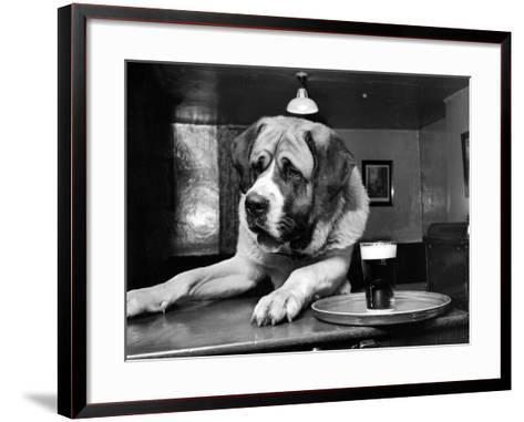 Bryan the St. Bernard Dog Enjoys a Pint, February 1956--Framed Art Print