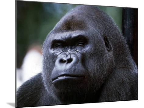 Gorilla--Mounted Photographic Print