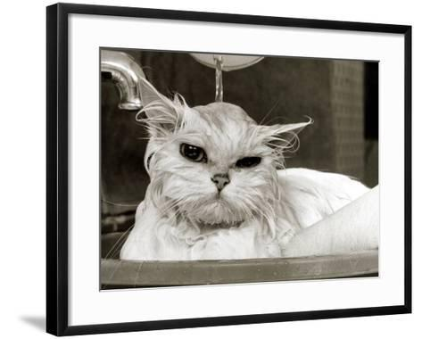 Bella the Persian Cat Gets a Soaking to Prepare Her for Shows, April 1985--Framed Art Print