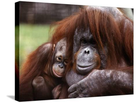 Orang-Utan Mother and Baby, April 1991--Stretched Canvas Print