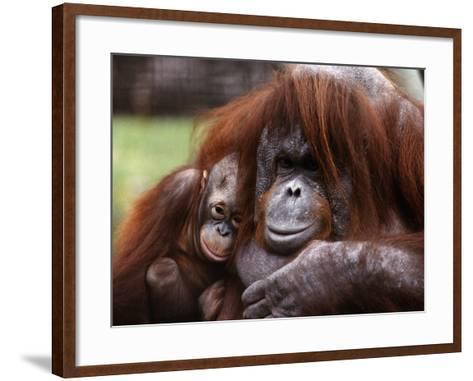 Orang-Utan Mother and Baby, April 1991--Framed Art Print
