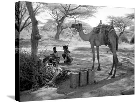 Local Men of Somaliland with Their Camels, 1935--Stretched Canvas Print