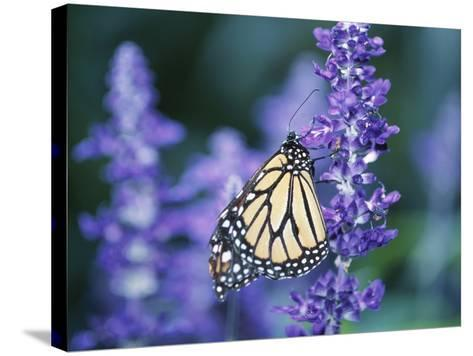 Beautiful Butterfly on Blooming Purple Flower--Stretched Canvas Print