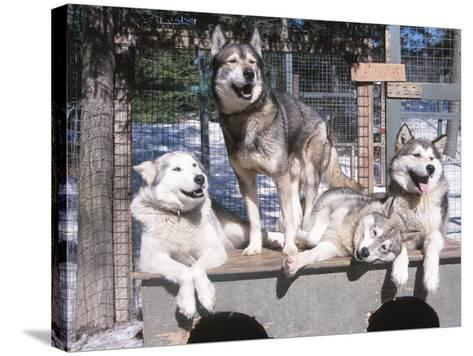 Cute Huskies in Dog Kennel--Stretched Canvas Print