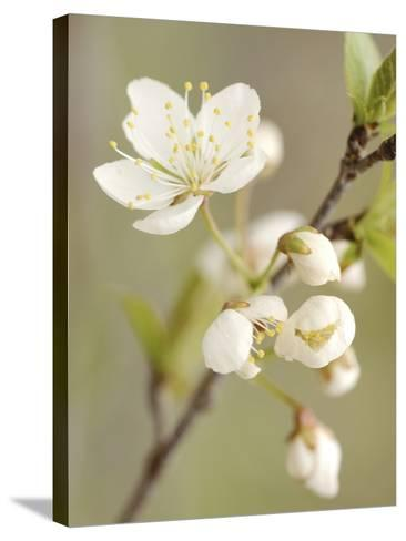 White Apple Blossom--Stretched Canvas Print