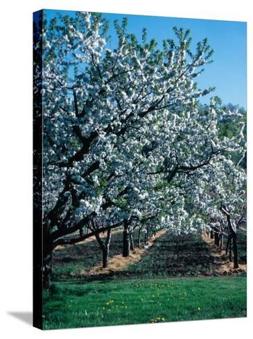 Blossoming Orchard--Stretched Canvas Print