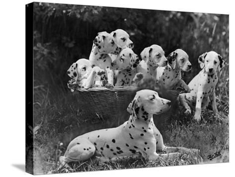 Postchaise Pluto One of Mrs Rowberry's Bitches with Her Puppies in a Basket-Thomas Fall-Stretched Canvas Print