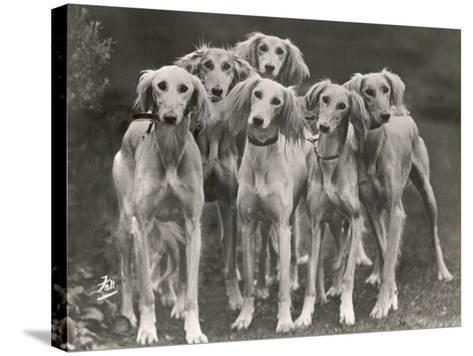 Group of Salukis Registered in Miss Doxford's First Litter by Sarona Kelb Ex Tazi of Ruritania Born-Thomas Fall-Stretched Canvas Print