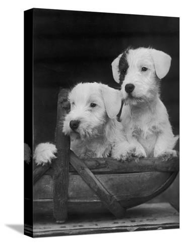 Two Unnamed Sealyhams Sitting in a Trug-Thomas Fall-Stretched Canvas Print