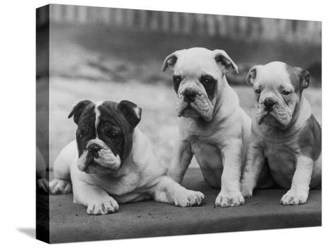 Three Bulldog Puppies Owned by Monkland-Thomas Fall-Stretched Canvas Print
