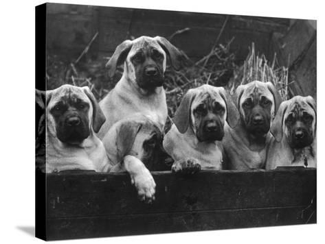 Row of Mastiff Puppies Owned by Oliver-Thomas Fall-Stretched Canvas Print