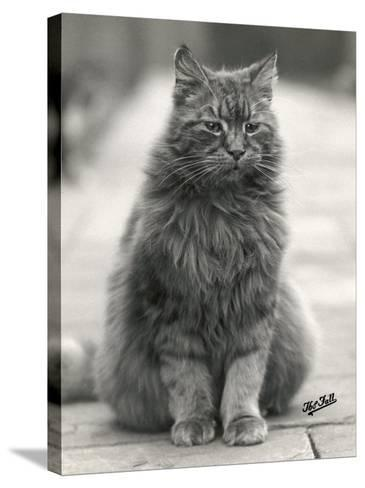 Fluffy Domestic Cat Sitting on the Pavement-Thomas Fall-Stretched Canvas Print