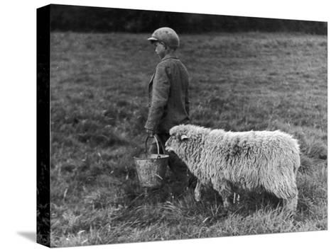Little Boy Carring a Metal Pail of Feed is Followed by a Hungry Sheep!--Stretched Canvas Print