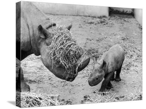 Black Rhinoceros with Straw on Her Face Playing with Her Baby Rhino!--Stretched Canvas Print