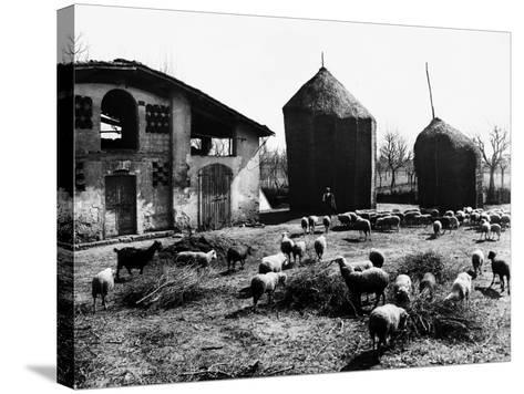 Restone (Figline Valdarno). Haystacks and Grazing Sheep--Stretched Canvas Print