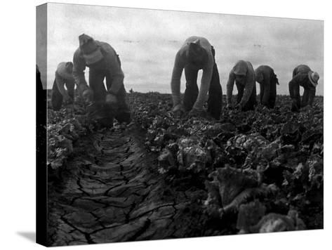 Filipinos Cutting Lettuce, Salinas, California, 1935-Dorothea Lange-Stretched Canvas Print