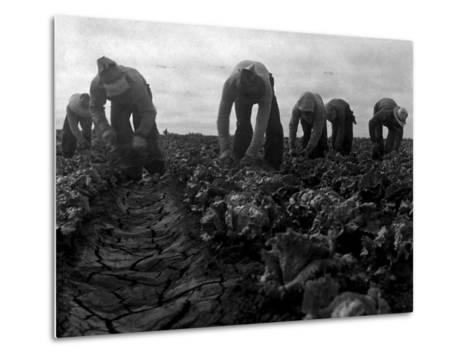 Filipinos Cutting Lettuce, Salinas, California, 1935-Dorothea Lange-Metal Print