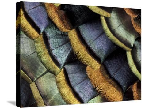 South American Ocellated Turkey-Darrell Gulin-Stretched Canvas Print