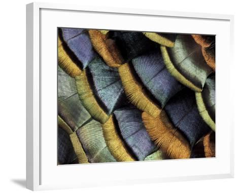 South American Ocellated Turkey-Darrell Gulin-Framed Art Print