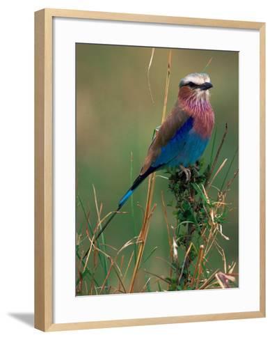 Lilac Breasted Roller, Masai Mara, Kenya-Dee Ann Pederson-Framed Art Print