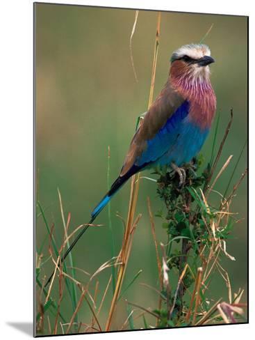Lilac Breasted Roller, Masai Mara, Kenya-Dee Ann Pederson-Mounted Photographic Print