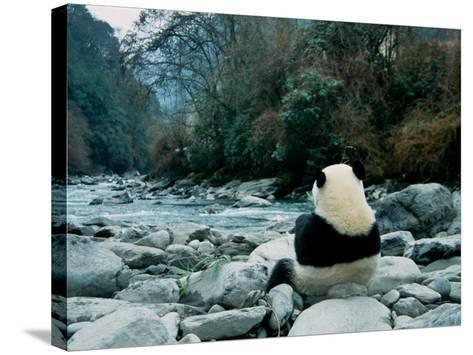 Giant Panda Eating Bamboo by the River, Wolong Panda Reserve, Sichuan, China-Keren Su-Stretched Canvas Print