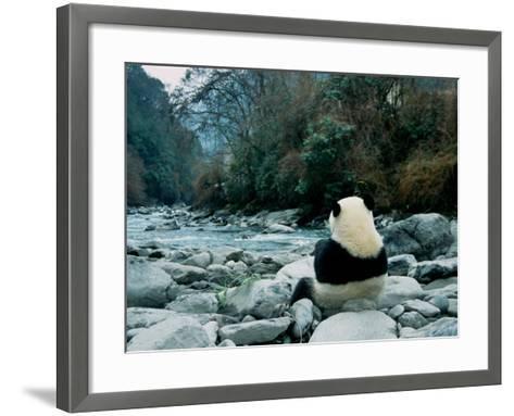 Giant Panda Eating Bamboo by the River, Wolong Panda Reserve, Sichuan, China-Keren Su-Framed Art Print