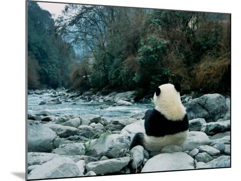 Giant Panda Eating Bamboo by the River, Wolong Panda Reserve, Sichuan, China-Keren Su-Mounted Photographic Print