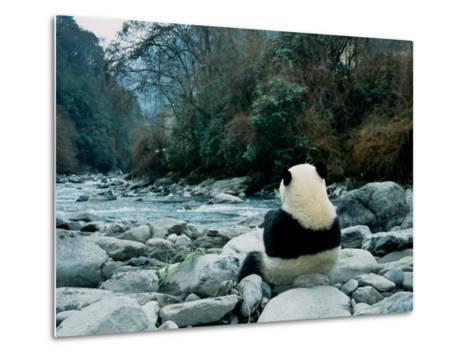 Giant Panda Eating Bamboo by the River, Wolong Panda Reserve, Sichuan, China-Keren Su-Metal Print