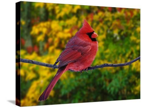 Male Northern Cardinal in Autumn-Adam Jones-Stretched Canvas Print