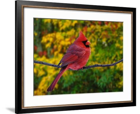Male Northern Cardinal in Autumn-Adam Jones-Framed Art Print