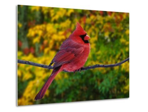 Male Northern Cardinal in Autumn-Adam Jones-Metal Print