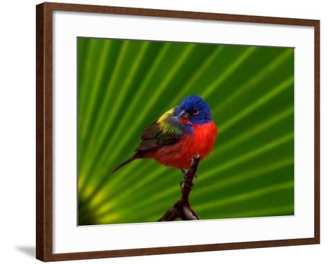Male Painted Bunting, Everglades National Park, Florida, USA-Adam Jones-Framed Art Print