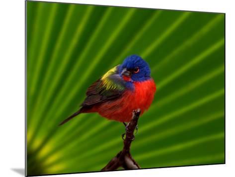 Male Painted Bunting, Everglades National Park, Florida, USA-Adam Jones-Mounted Photographic Print