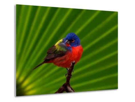 Male Painted Bunting, Everglades National Park, Florida, USA-Adam Jones-Metal Print