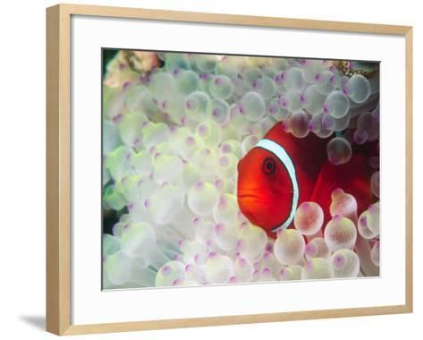 Spinecheek Anemonefish, Bulb-tipped Anemone, Great Barrier Reef, Papau New Guinea-Stuart Westmoreland-Framed Art Print