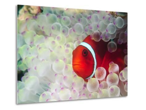 Spinecheek Anemonefish, Bulb-tipped Anemone, Great Barrier Reef, Papau New Guinea-Stuart Westmoreland-Metal Print