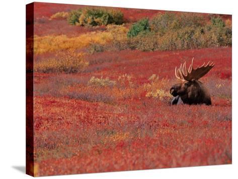 Bull Moose in Denali National Park, Alaska, USA-Dee Ann Pederson-Stretched Canvas Print