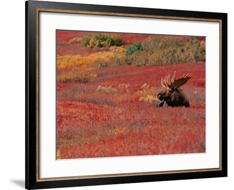Bull Moose in Denali National Park, Alaska, USA-Dee Ann Pederson-Framed Art Print