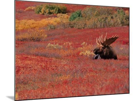 Bull Moose in Denali National Park, Alaska, USA-Dee Ann Pederson-Mounted Photographic Print
