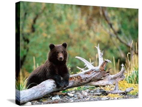 Brown Bear Cub in Katmai National Park, Alaska, USA-Dee Ann Pederson-Stretched Canvas Print
