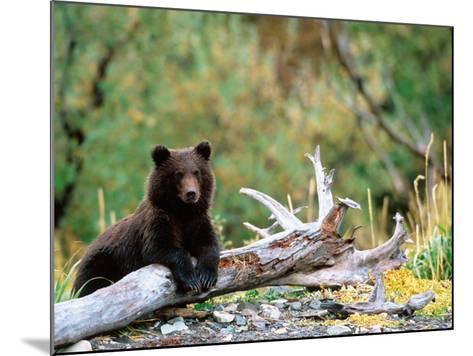 Brown Bear Cub in Katmai National Park, Alaska, USA-Dee Ann Pederson-Mounted Photographic Print