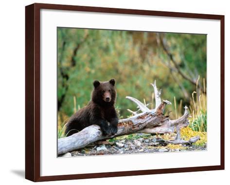 Brown Bear Cub in Katmai National Park, Alaska, USA-Dee Ann Pederson-Framed Art Print