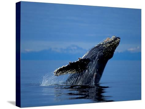 Breaching Humpback Whale, Inside Passage, Southeast Alaska, USA-Stuart Westmoreland-Stretched Canvas Print