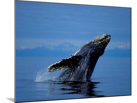 Breaching Humpback Whale, Inside Passage, Southeast Alaska, USA-Stuart Westmoreland-Mounted Photographic Print
