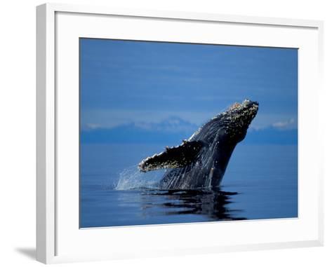 Breaching Humpback Whale, Inside Passage, Southeast Alaska, USA-Stuart Westmoreland-Framed Art Print
